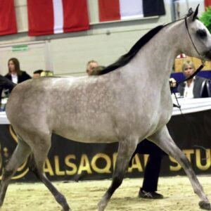 Szép, elegáns és kitartó: Arab lovak itthon és a nagyvilágban