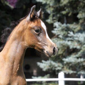 A vér kötelez – Arab lovak genetikai betegségei